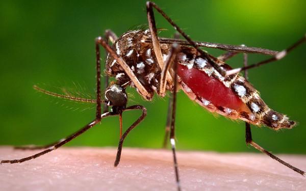 _Aedes_aegypti_mos_3553076b