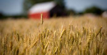The Wheat Disease Threatening Asia's Food Supply