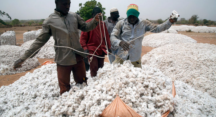 A QUESTION OF BREEDING: How Monsanto's GM cotton sowed trouble in Africa